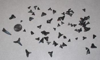 Shark Teeth - 