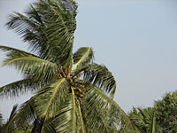coconut - Coconut tree