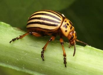 The Colorado potato beetle - The Colorado potato beetle (Leptinotarsa decemlineata), also known as the Colorado beetle, ten-striped spearman, the ten-lined potato beetle) is an important pest of potato crops. It is approximately 10 mm (0.4 inches) long, with a bright yellow/orange body and 5 bold brown stripes along the length of each of its elytra, and it can easily be confused with its close cousin and look-alike, the false potato beetle. The beetle was described in 1824 by Thomas Say from specimens collected in the Rocky Mountains on buffalo-bur, Solanum rostratum. The origin of the beetle is somewhat unclear, but it seems to be that Colorado and Mexico are a part of its native distribution in the southwestern North America