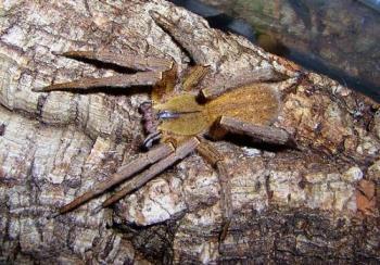 Brown Banana Spider - Very Dangerous!