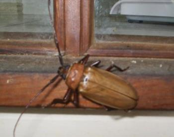 Huge Beetle in Australia - This looks like a cockroach (a very BIG one), but has a hard outer shell. Someone told me it's a sugar cane beetle.