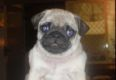 Betty-Sue - my pug