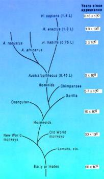 human tree - human tree,evolution
