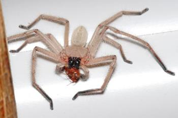 Huntsman Spider - The Huntsman Spider is very common in Australia. They are not venomous.