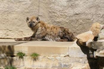 Hyena - A Hyena at the Sacramento Zoo.