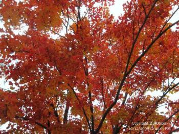 Red Maple - In my front yard.