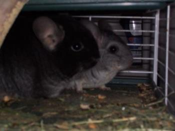 Chin festival addition - this fall our chincillas had babies in time for the festival. woot
