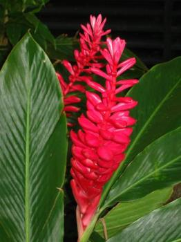 Bird of Paridise flower - Taken with Canon digicam