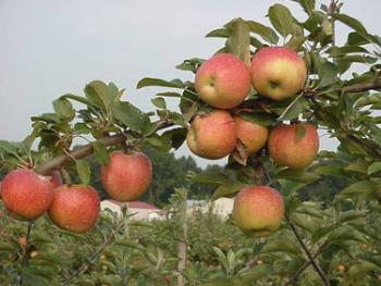 apple orchard - have your own orchard