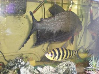 Tigger (pacu) and Thumper (loach) - Here are two of my fish