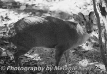 Pudu Deer at Discovery Island - image of a pudu deer