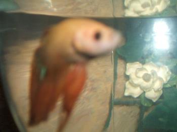 Fish - My pretty new betta male
