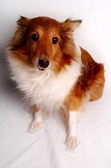 Shelties are Beautiful Dogs!!! - I'm sure Saffy shares her heart with the whole family!!!