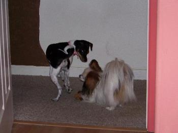 Daisy and Petie playing - Daisy trying to get Petie on her side so she can take over the world