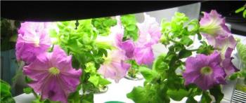Bargain Petunias in November - These are growing indoors in liquid nutrient solution. No dirt, no bugs. Just pretty flowers :-)