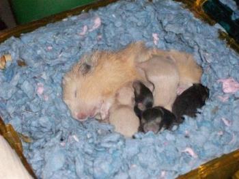 Baby Teddy Bear Hamster