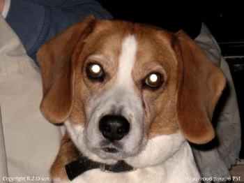 "Buster - My beagle, Buster, with ""short"" hair."