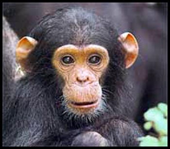 Chimpanzee has hair on head as well! - Chimpanzee has also hair on its head. So shave your heads ladies!