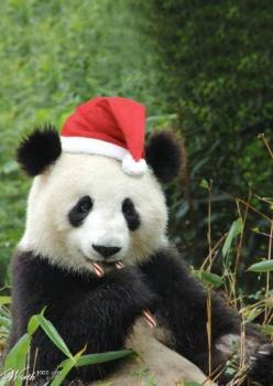 Christmas Panda - A Panda wearing a Christmas... Hat?