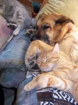 Tasha and Tigger in a peaceful sleep - Our female dog Tasha died in January 2008. She was a gentle dog and was so good with the five kittens we have when we first brought them home. One in particular a male cat called Tigger adored her and loved to sleep beside her as this photo shows.