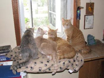 4 cats in window seat - This photo is of 4 of our 5 cats. The two ginger twin males are Tigger and Teeh-Tooh, the beige male is Nova and the gray tabby is female Shal-lie. The only one not in the photo is the other black female Nexus.