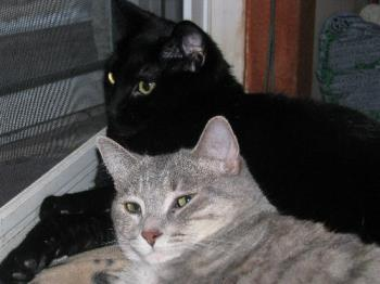 Our female cats snuggling - The black cat is Nexus...the gray one is Shal-lie...they are around 2 years in this photo.