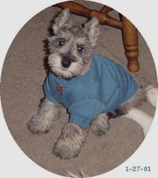 Rocky - photo of my mini schnauzer Rocky dressed up