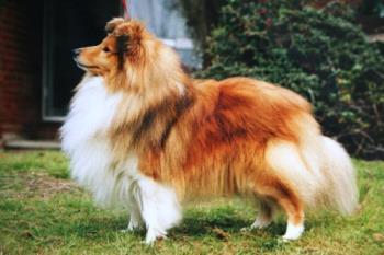 shadow - shetland sheepdog