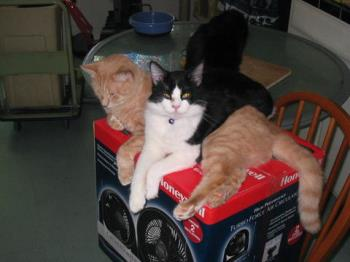 Oliver and Pong (and some black cat) - check out those crossed paws!
