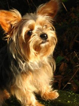 A Very Clever Dog - Roxy Raphael, a Yorkshire Terrier cross puppy is a very clever little dog. A loyal companion and my best friend.