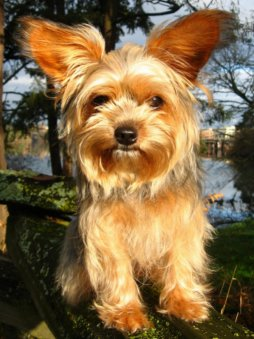 Yorkshire Terrier - Yorkshire Terrier are very devoted, independent and loyal.