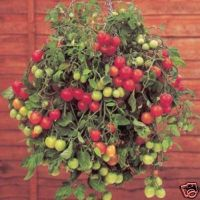 tiny toms. - a dwarf variety of tomato plant ideal for containers and hanging baskets.
