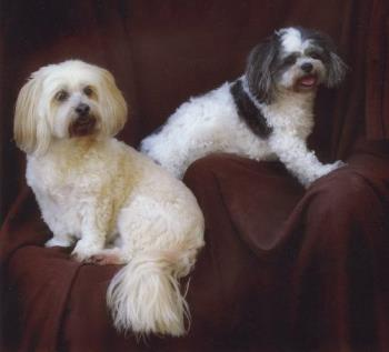 My dogs - These are my dogs. Penny (the cream one) is s 12 year old Lhasa Apso. Poppy (back and white) is 9, and a Shih Tzu.