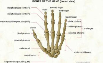 bones of the hand - look at the finger bones