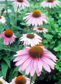 perrenial flowers - for post