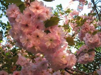 cherry tree - Japanese flowering cherry in the park by Petr Kratochvil