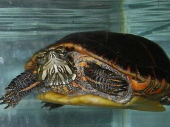 Carmen - Our painted turtle. We've had her for 17 years now.