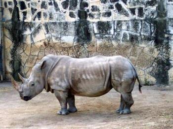 Rhino - Rhino at the San Antonio zoo.