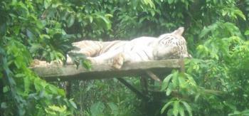 White Tiger - it was taken in Ragunan zoological.