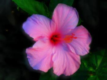 Hibiscus - Built up from three different images