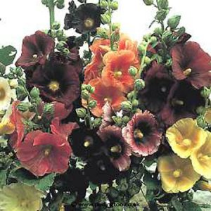 Hollyhocks - All kinds of colours available