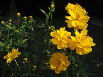 Yellow Cosmos - Yellow Cosmos Flower