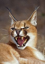 Caracal or Rooikat or African Lynx