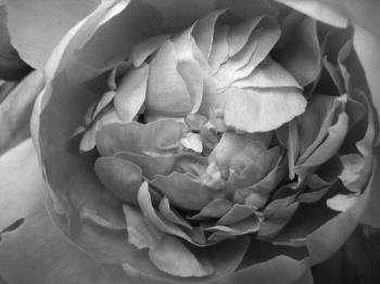 a random pic i took w/ my cam - Here's a random, macro pic I took of some gorgeous flowers. I did edit it into black and white, but otherwise, I took it with my plain-Jane Canon Powershot.