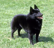 schipperke - Mine looked just like this one. They are not very common dogs so I figured you might like to see one.