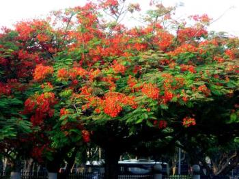 Flame of the Forest - A beautifully flowering Flame of the Forest tree in my estate.