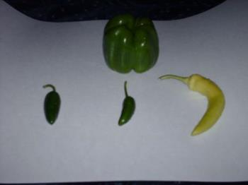 Peppers - Just a few of my crops for 2009