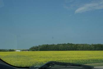 the canola fields smelled so good - so many fields of canola all over