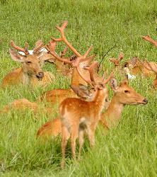 deer - at kaziranga national park