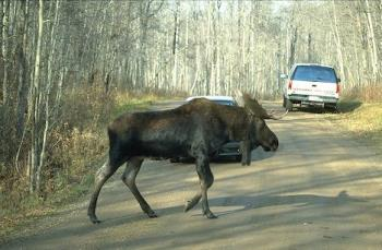 moose in the road - a couple moose and a couple cars that managed to avoid them